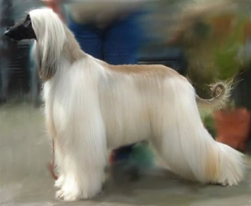 Afghan Hound Dog Breed Puppies
