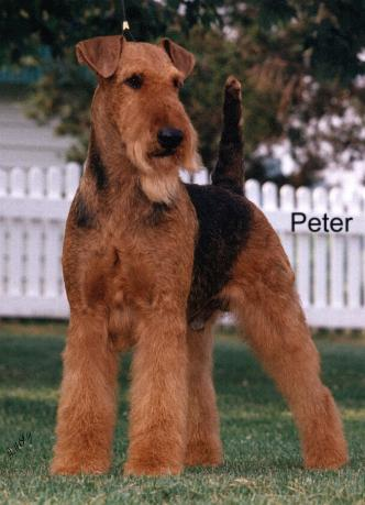 Airedale Puppies on Airedale Terrier Dog Breed Puppies