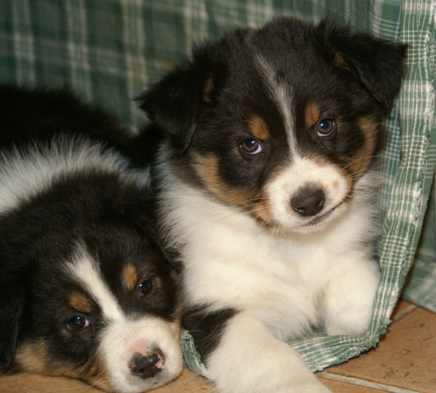Two Australian Shepherd Puppies on the Chair