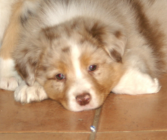 Australian Shepherd Dog Breed Puppies