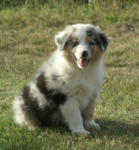 Australian Shepherd Puppies Pictures