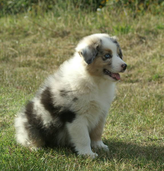 Australian shepherd puppies blue merle for sale images amp pictures