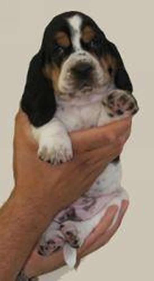 Bassett Hound Puppies. Basset Hound Puppies Pictures