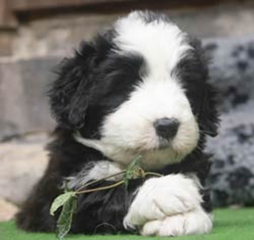 Bearded collie, 5 weeks old boy