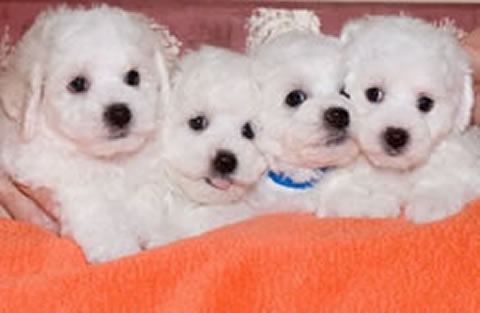 Bichon Frise Puppies on Find Bichon Frise Puppies For Sale In All   U K  For Free