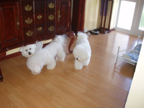 Bichon Frise Puppies on Bichon Frise Puppies Pictures Photos Pics