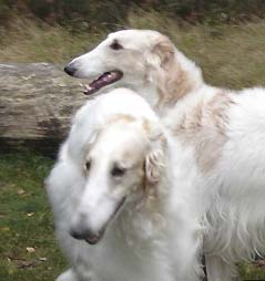 Head shot of 2 Borzoi's