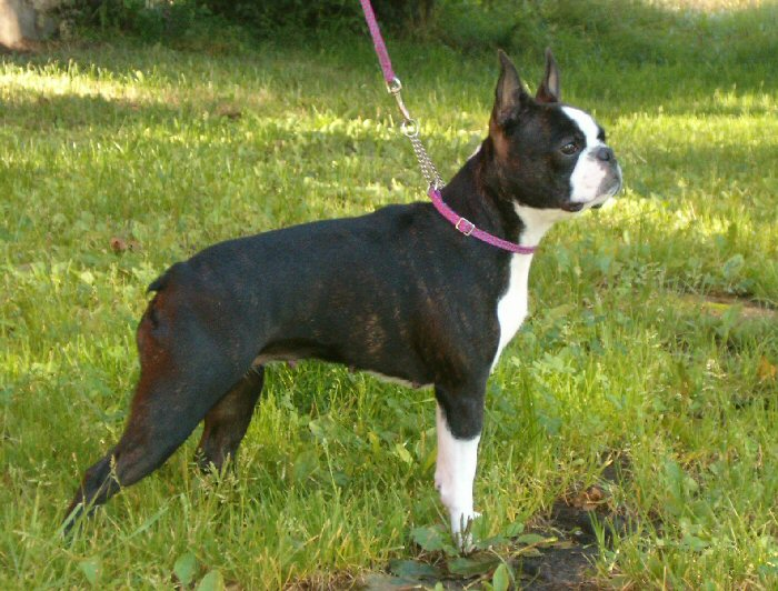 Boston Terrier Pictures Photos Pics