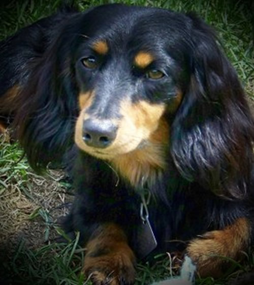 long haired dachshund black and tan. Black and tan long hair