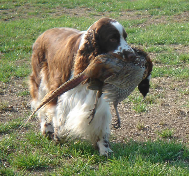 English Springer Spaniel Pictures Photos Pics