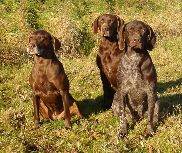 German Shorthaired Pointer dogs sitting in the forest