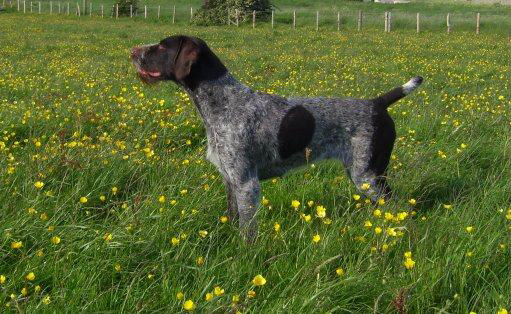 German Wirehaired Pointer Dog Breed Puppies