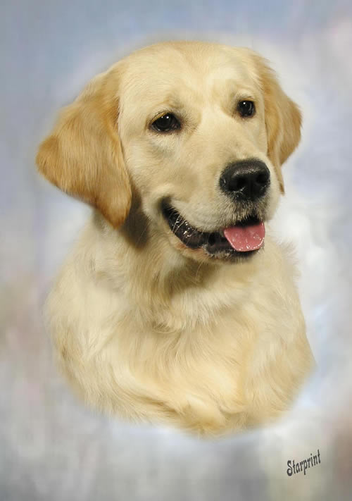 golden retriever dogs and puppies. Golden Retriever Pics