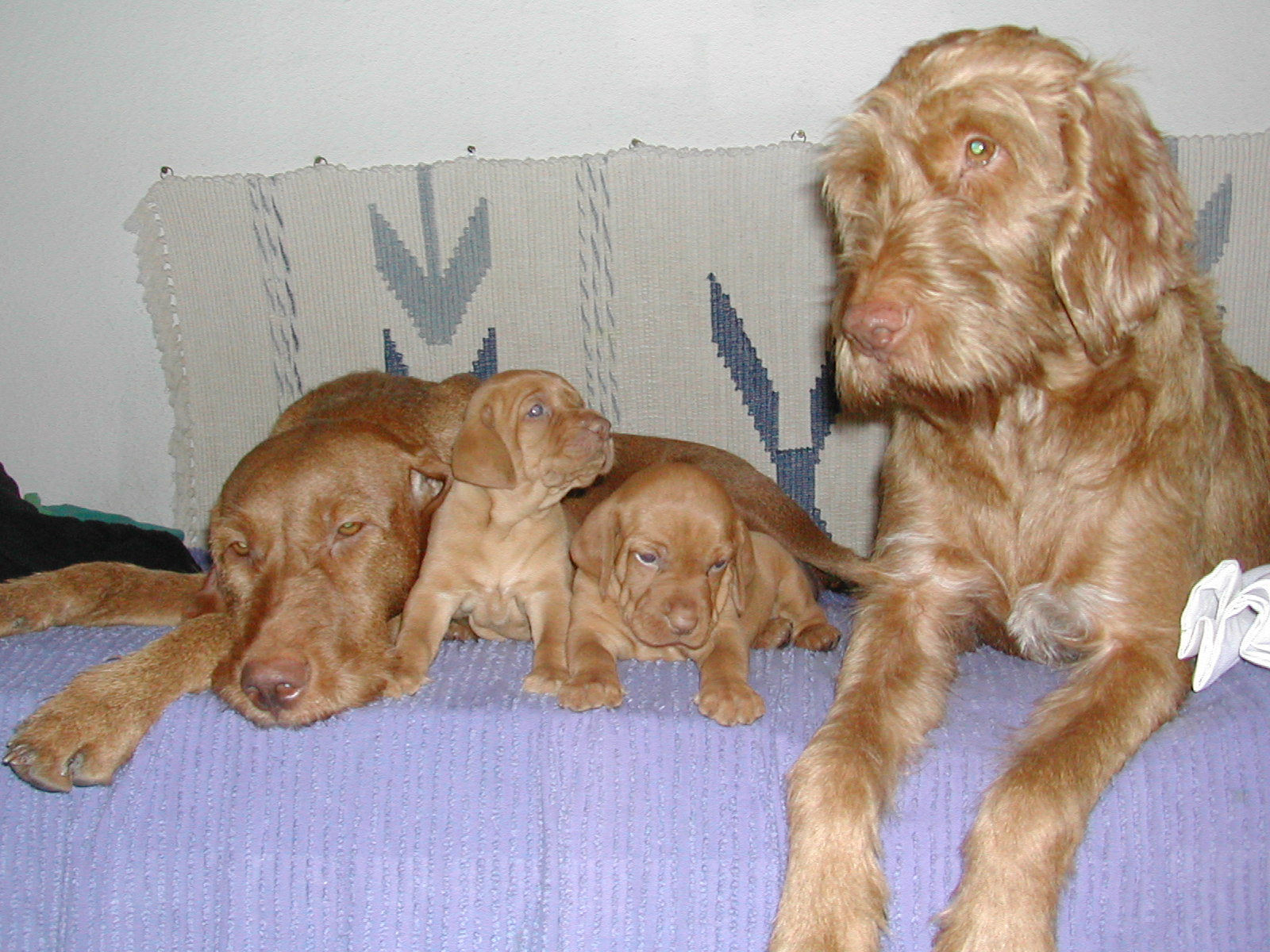 Hungarian Wirehaired Vizsla Pictures