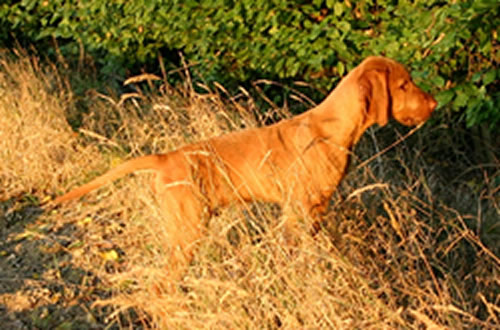 Hungarian Wirehaired Vizsla Pictures Photos Pics