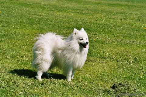 Japanese Peach Dog Picture http://www.completedogsguide.com/dog-breeds/Japanese-Spitz/