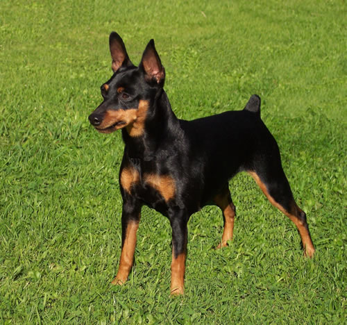 Miniature Pinscher Dog Breeds