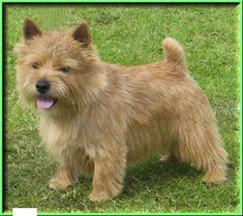 Norwich Terrier Dog Breed Puppies