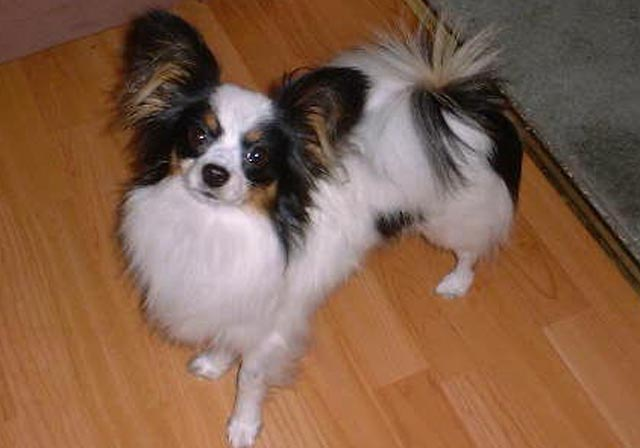 Papillon Dog Breed Puppies