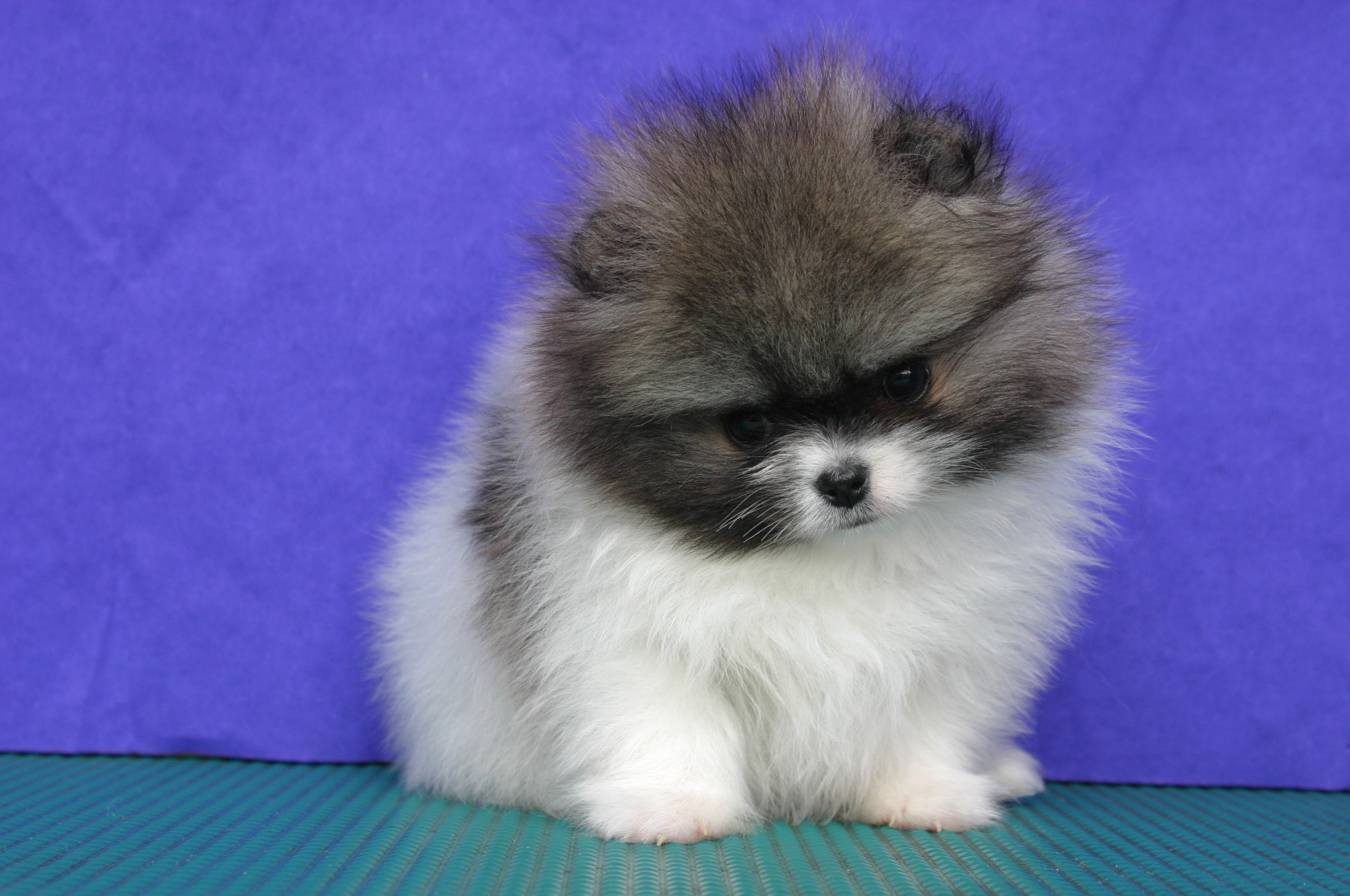 Parti pomeranian female age of 38 days