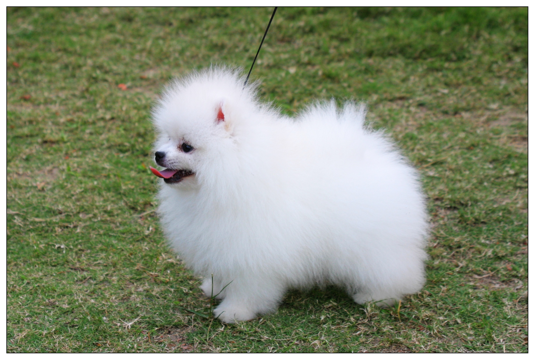 White Pomeranian. Female, age of 3 months