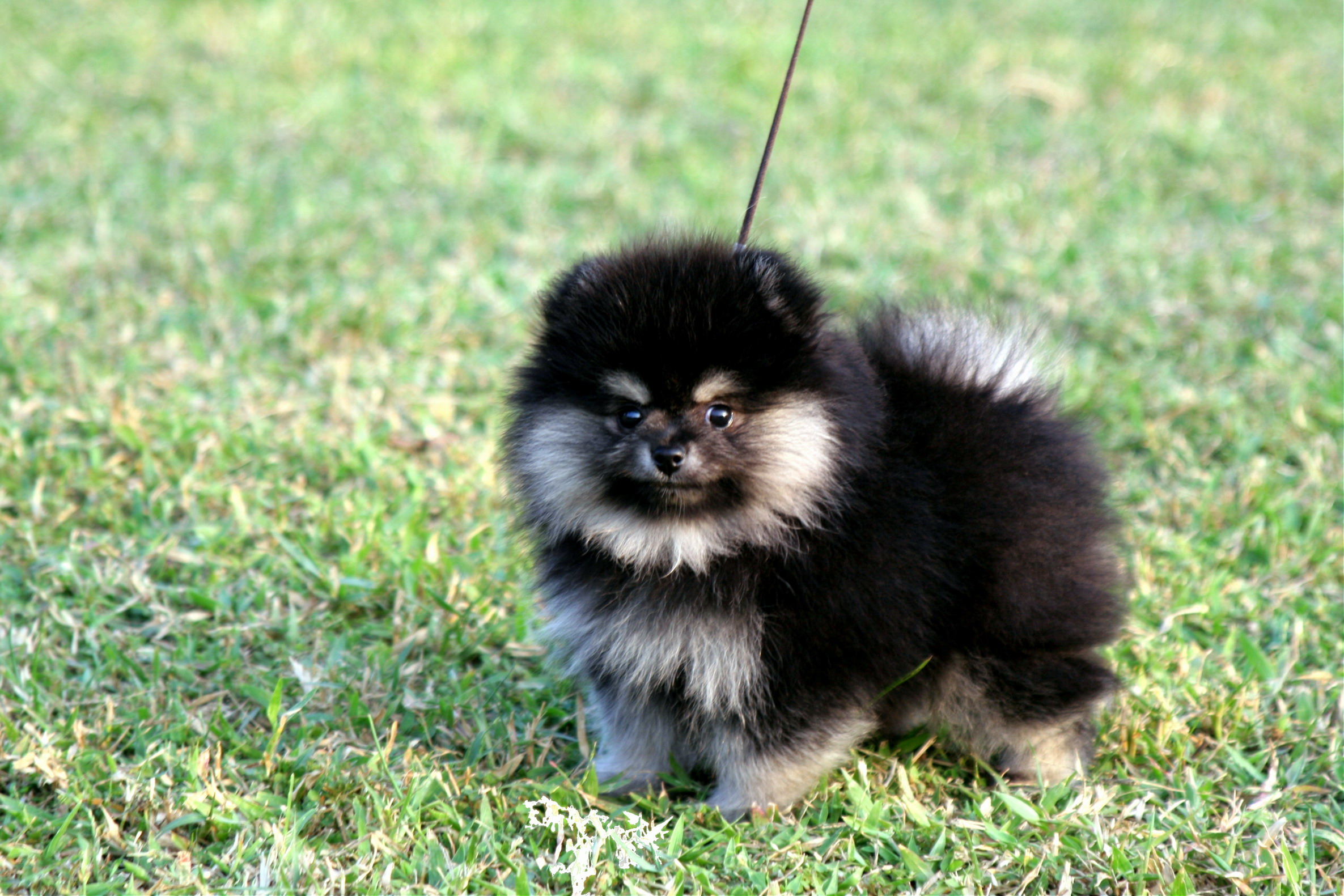 Black & Tan Pomeranian. Female, age of 2 months