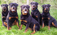5 Adult Rottweilers