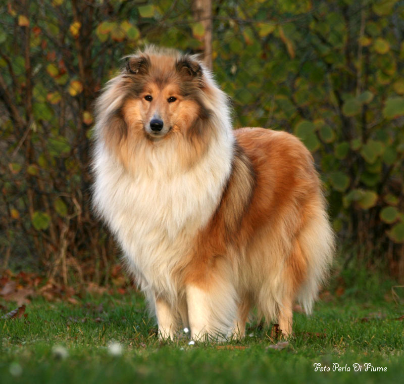 Rough Collie Dog Breed Puppies
