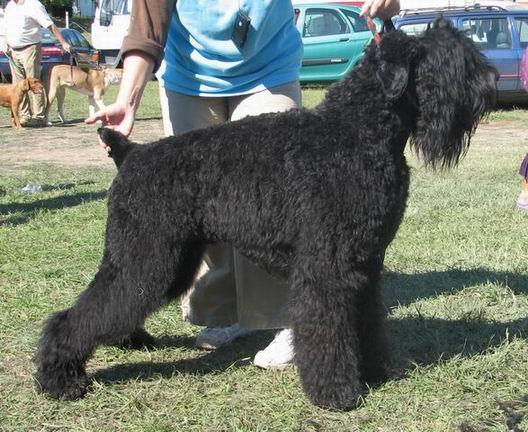 Black Russian Terriers Dog