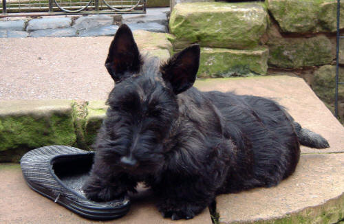 Scottish Terrier Dog Breed Puppies