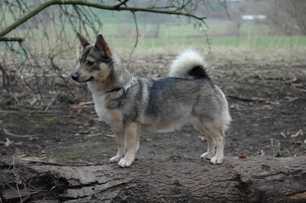 IMAGE(http://www.completedogsguide.com/images/dog-breeds/largepic/Swedish-Vallhund2.jpg)