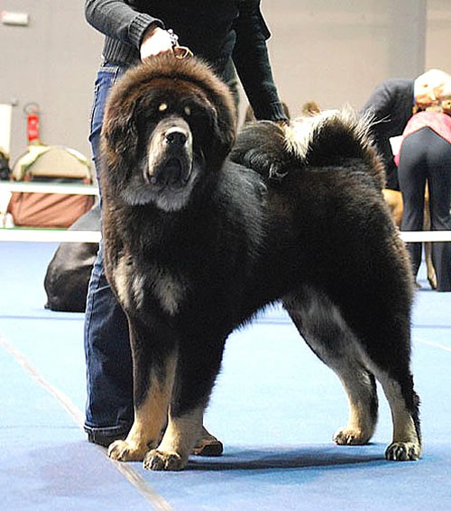 Tibetan Mastiff Dog Breed Puppies