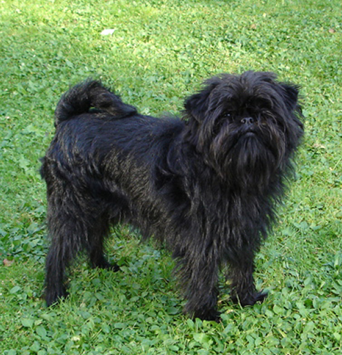 Affenpinscher Dog Breed Puppies