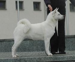 Pure White Akita