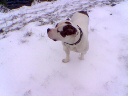 American Bulldog Standing on the Snow
