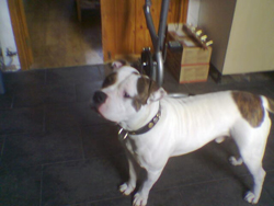 American Bulldog Zakery Standing on the Floor