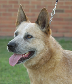 Australian Cattle Dog Bart