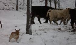 Australian Cattle Dog Aventurin Afire. herding. Angus
