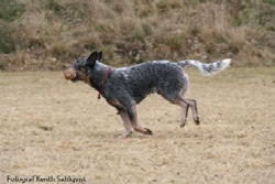 Australian Cattle Dog Sweet Azur.s Chico Apporterar