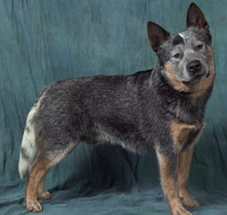 Australian Cattle Dog King