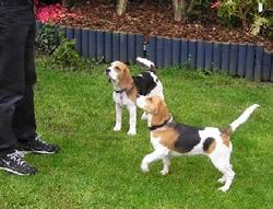 Beagle Lady & Alfie