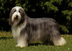 Bearded Collie Pic