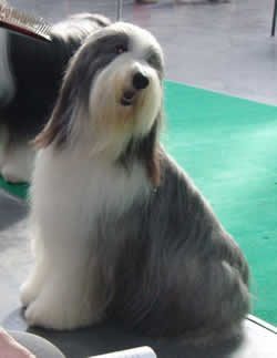 Bearded Collie 2 years old female.