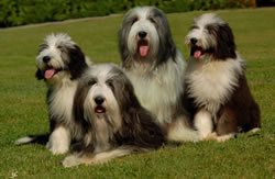 Bearded Collies Joe,Fib and Zdeti