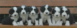 Bearded Collie 6 weeks old litter