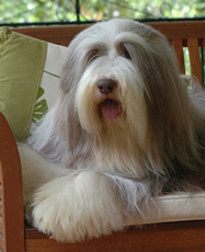 Bearded Collie Cata