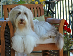 Bearded Collie Mr.Nilsson