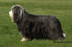 Bearded Collie Joe