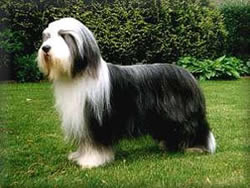 Bearded Collie Phoebe