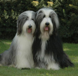 Bearded Collie Happy and Joe